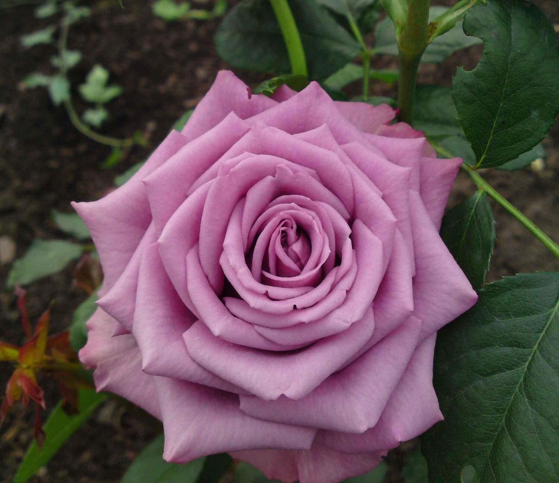 """Роза чайно-гибридная """"Гуль Вальтер"""" (Goul Valter) контейнер 5л."""