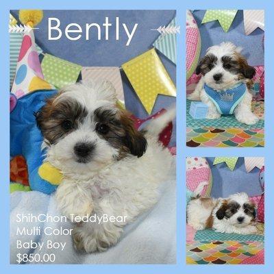 Bently - Shichon Teddy Baby Boy