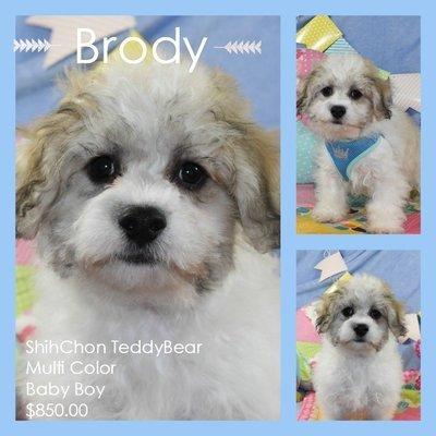 Brody - Shichon Teddy Baby Boy