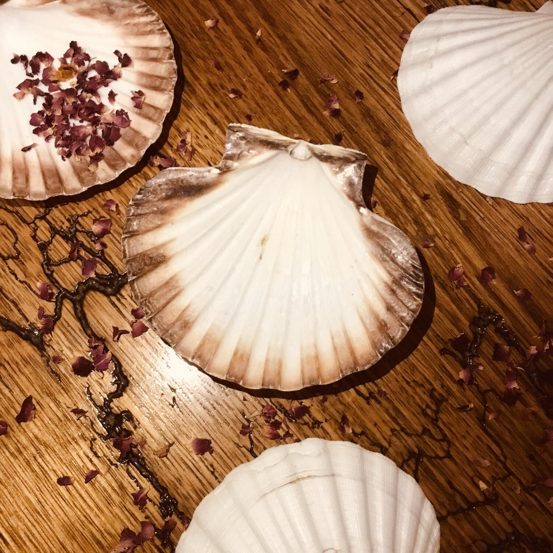 Scallop Shell 15cm