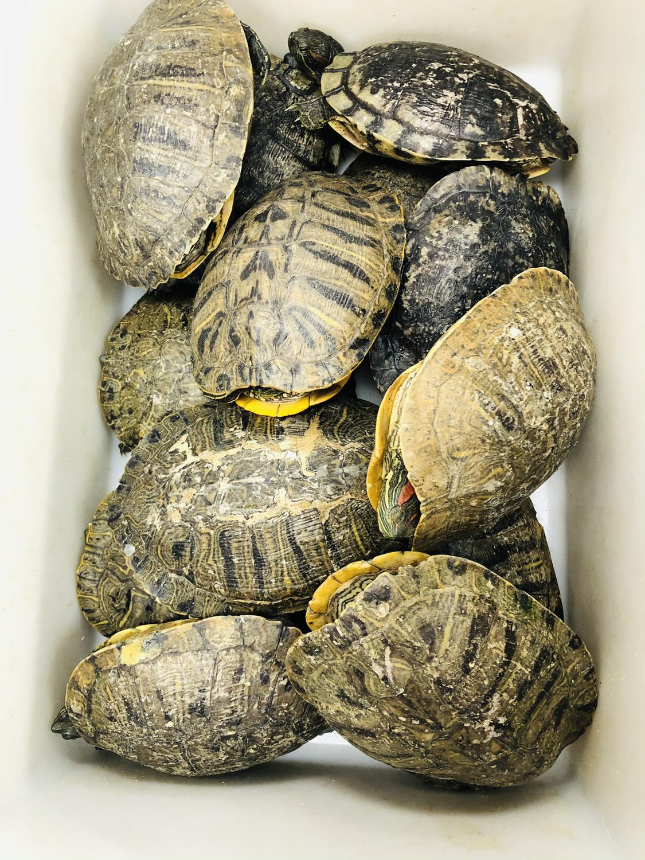 SEAF【海鲜】老龟 ~2.5lbs