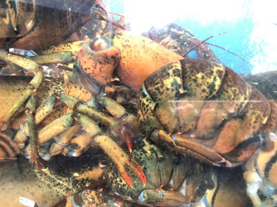 SEAF【海鲜】游水大龙虾 2.5lb