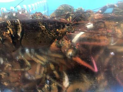 SEAF【海鲜】游水小龙虾 ~2lbs