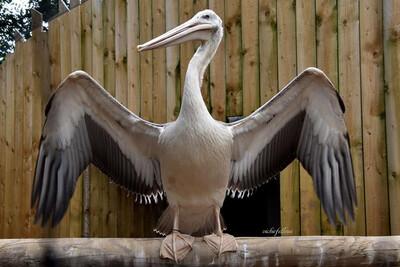 Pelicans Adoption