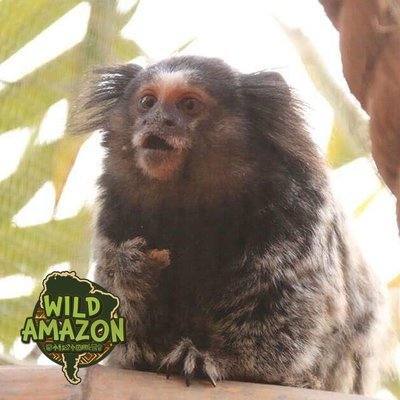 Gloria the MARMOSET