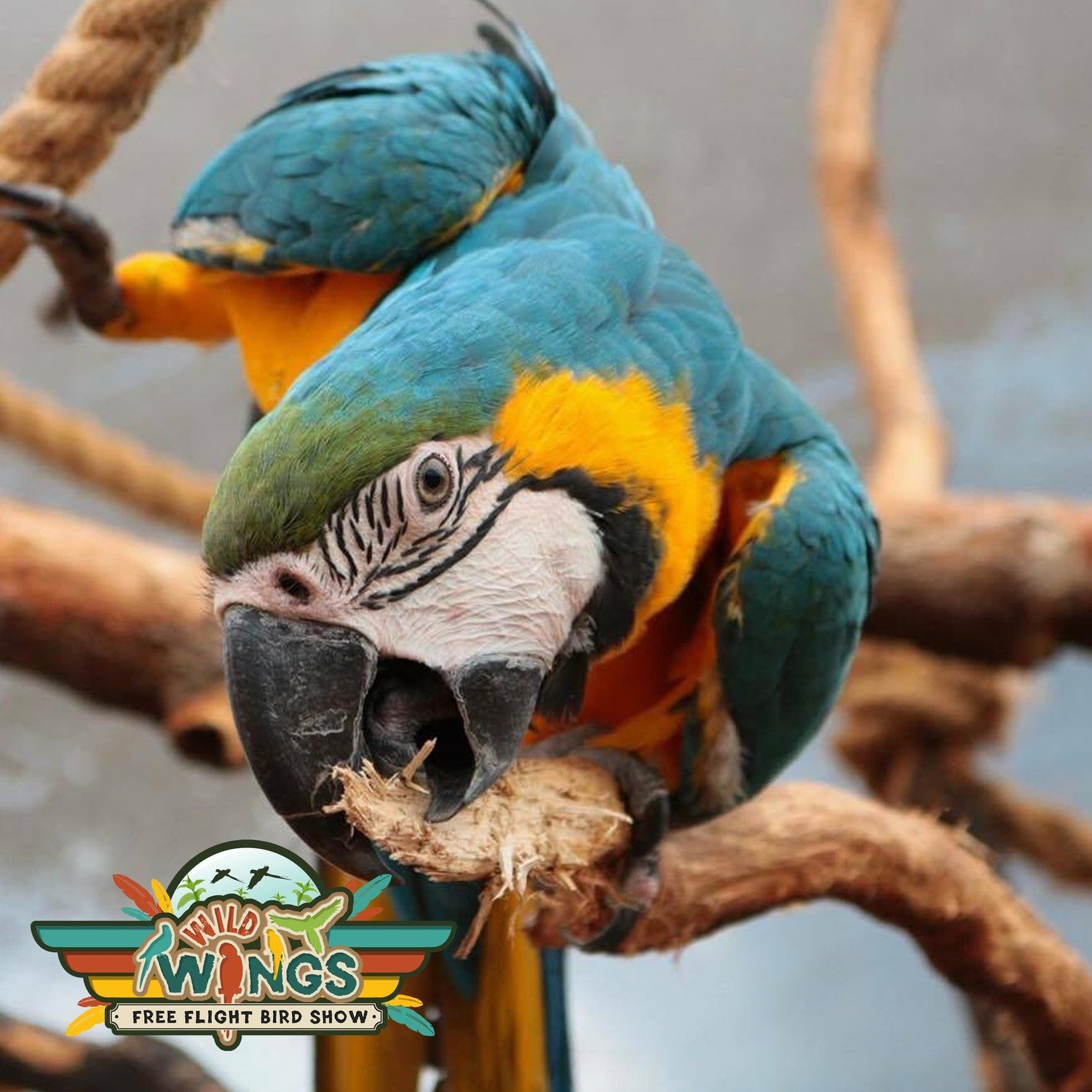 Casey the Blue & Gold MACAW