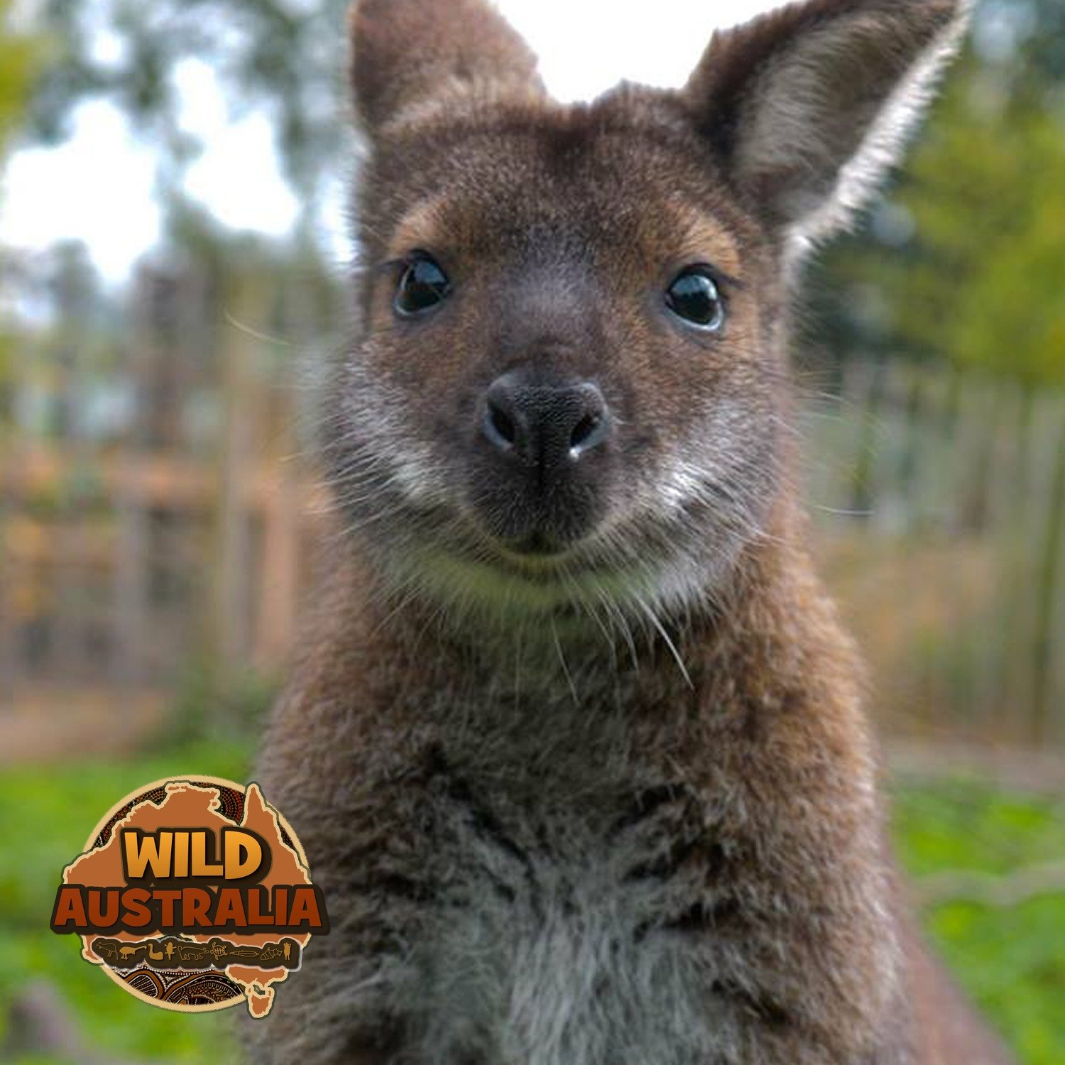 Keith The WALLABY