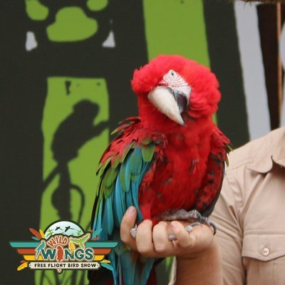 Cybil The Greenwing MACAW