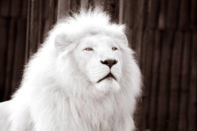 ~Albino Lion~