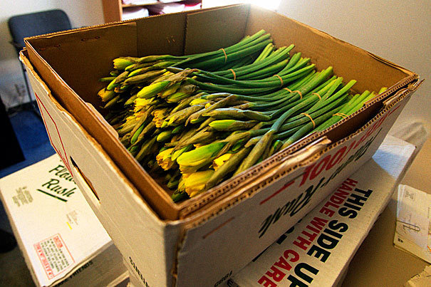 Daffodils Half Box (25 Bunches)