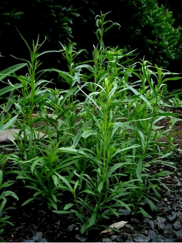 1000 Tarragon Seeds Anise Gourmet NON-GMO Heirloom Herb Salad