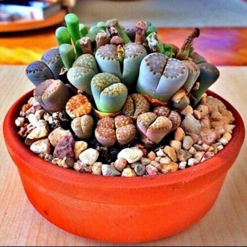 50 RARE Lithops MIX, succulent cactus, EXOTIC living stones, desert rock seed, SEEDS
