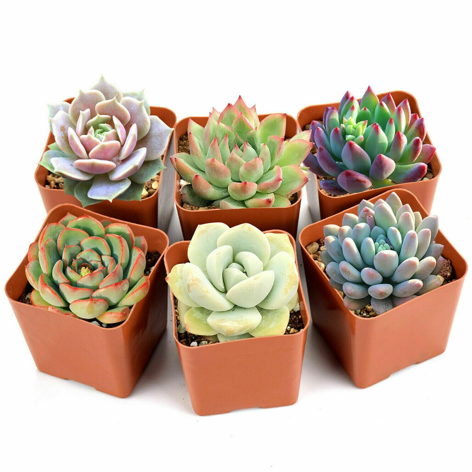 Succulent Plants, 6 Pack of Assorted Rosettes, Fully Rooted in Planter Pots with Soil, Rare Varieties, Unique Real Live Indoor Succulents/Cactus Décor by The Next Gardener