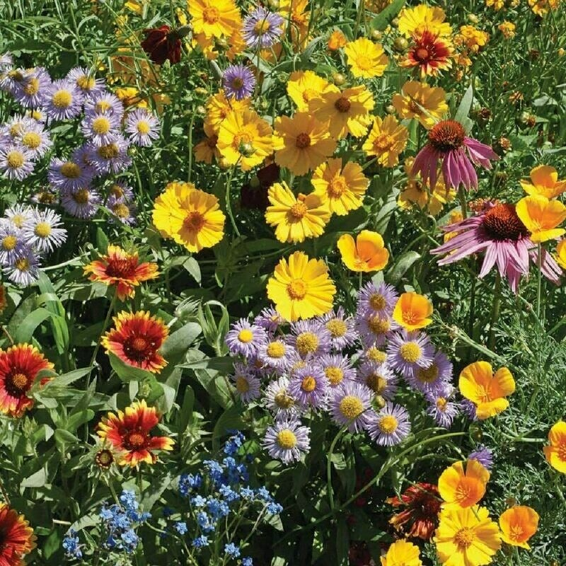 Bee Feed Wildflower Mix Non-GMO Seeds, Bulk Pack of 50,000+ Seeds