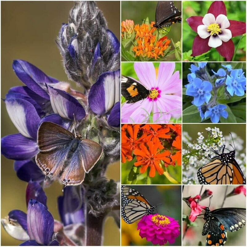 30,000 Seeds, Bird and Butterfly Wildflower Mixture (100% Pure Live Seed) Non-GMO Seeds by Seed Needs …