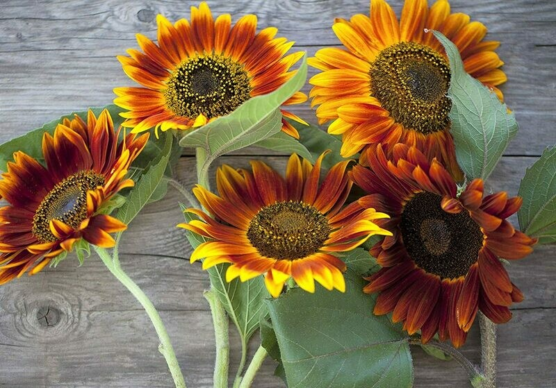 Autumn Beauty Sunflower Seeds – Bulk 1/4 Pound Bag – Over 5,000 Open Pollinated Non-GMO Wildflower Seeds – Helianthus... Size:Quarter Pound Bag