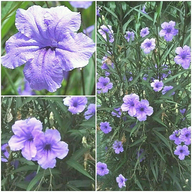 7 MEXICAN Petunia Ruellia Brittoniana, Fresh Cuttings,