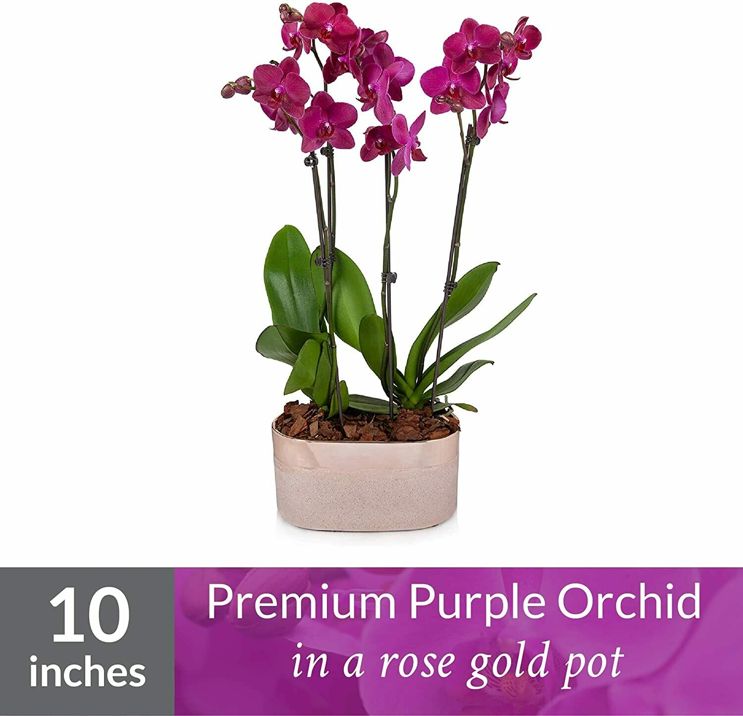 """Orchid Plant Duo - Easy Care Live Plants, 5"""" Diameter, Purple in Rose Gold Planter"""