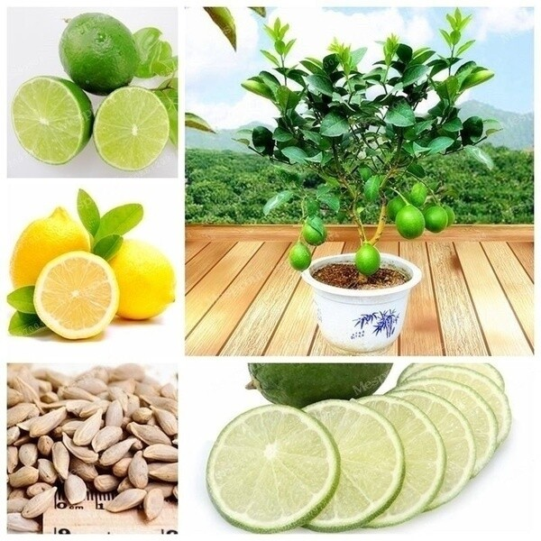 20 Pcs Lemon Tree Seed Edible Fruit Organic Terrace Bonsai Plant