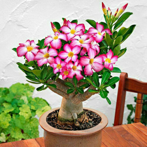 Desert Rose,one year bare Rooted baby plant- Caudex Bonsai,
