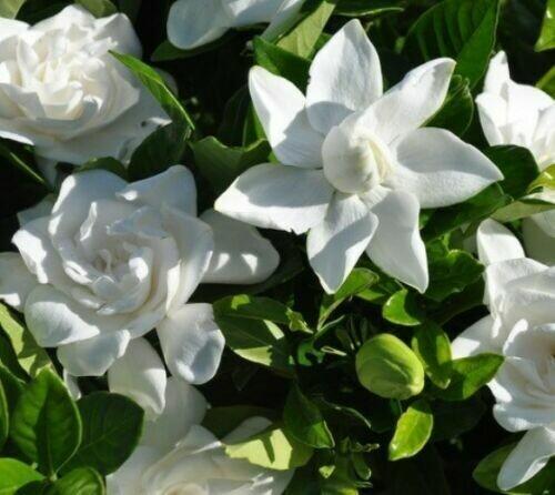 Summer Snow Gardenia ( cape jasmine ) - Live Plant - Quart Pot