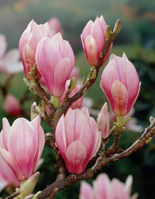 "Saucer Magnolia Tree - Flowering Shrub Live Established - 3 Plants in 3.5"" Pots      1"