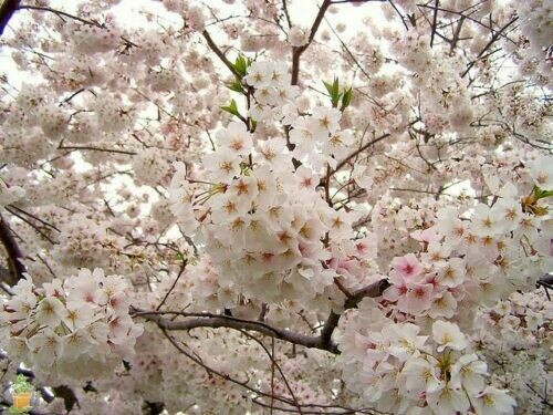 """Yoshino Flowering Cherry Tree - Live Established Rooted - 3 Plants in 2.5"""" Pots"""