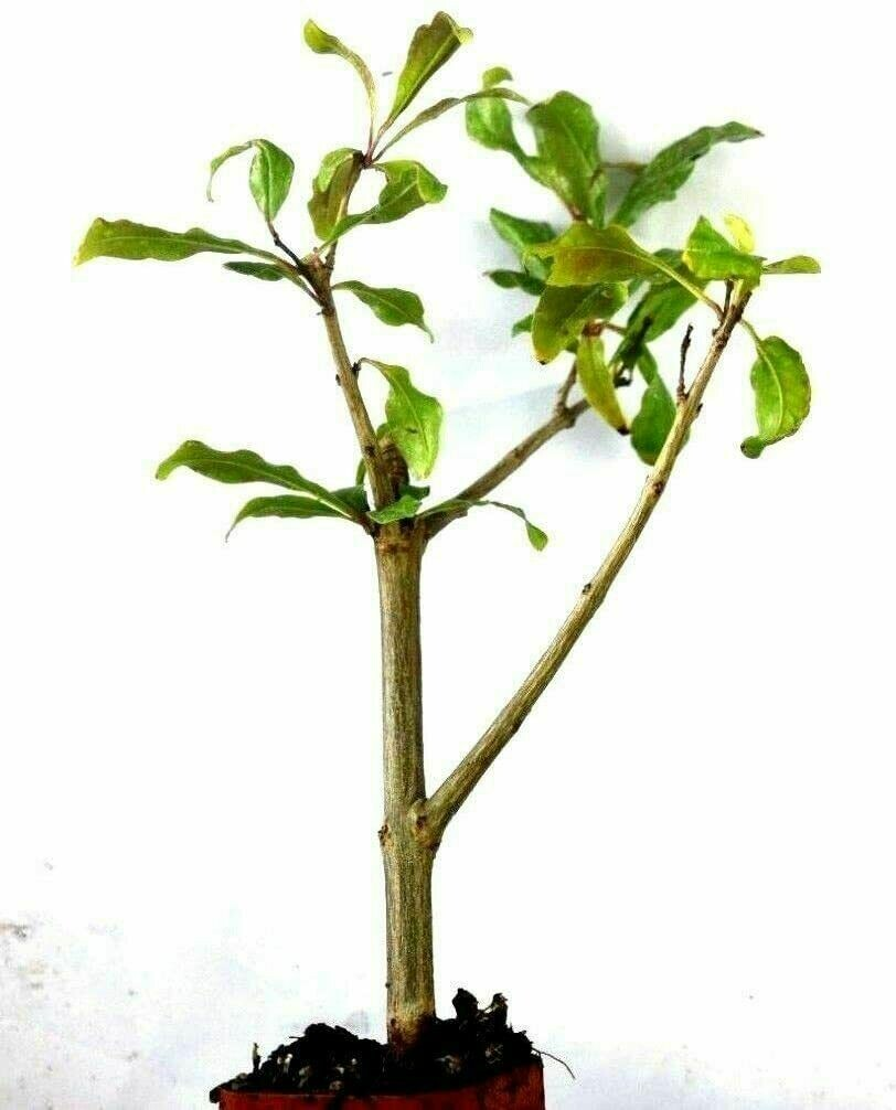 Pomegranate Tree Live Plant Rooted Potted Pollinated Ready Planting Very Sweet