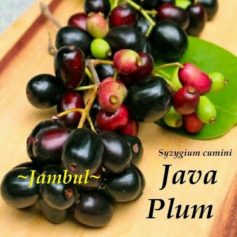 ~JAMUN~ Syzygium cumini JAVA PLUM Jambolan JAMBUL Live Sml potd starter Plant