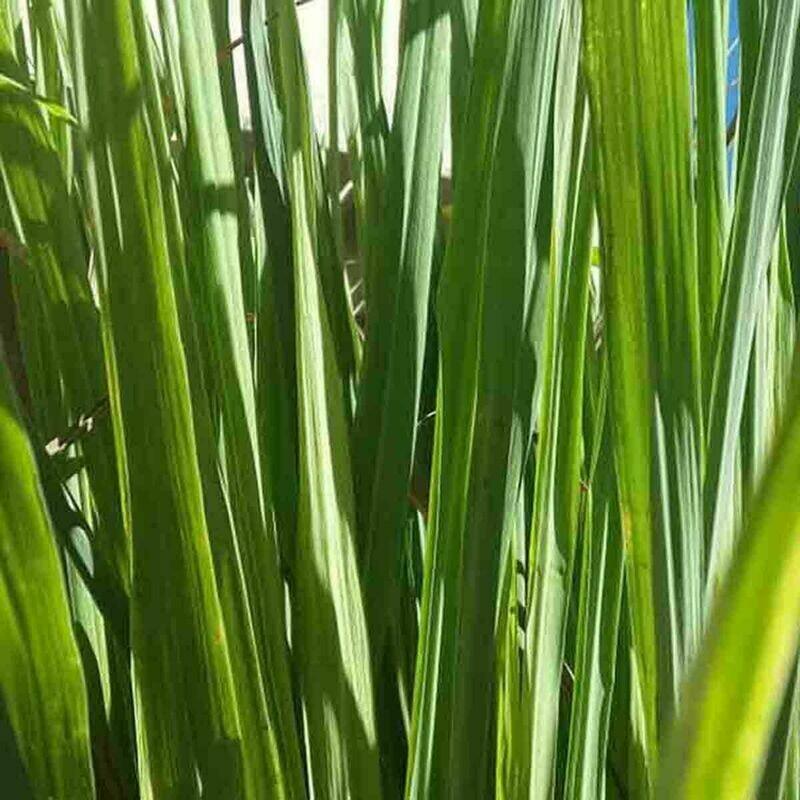 200+ LEMONGRASS SEEDS, LEMON GRASS CYMBOPOGON FLEXUOSUS, MOSQUITO REPELLENT USA