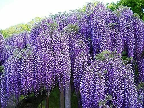 Spectacular Blue Moon Wisteria Vine Plant 2-3' Tall . 2-3 Year Old Plants, in Dormancy