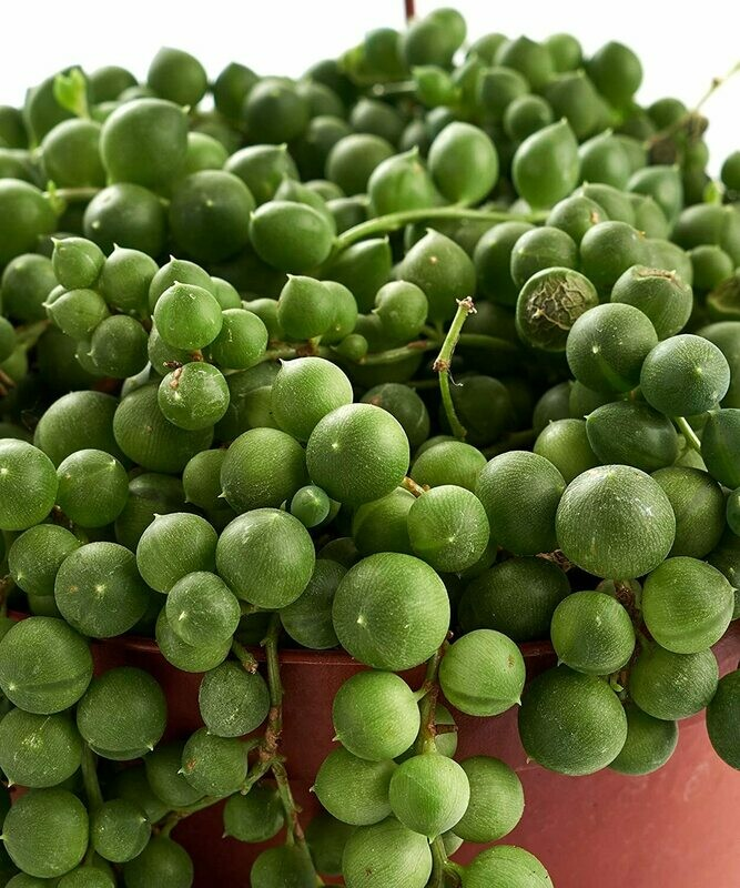 """Trailing Succulent   String of Pearls Unique Cascading, Hand Selected Fully Rooted Live Indoor Succulent Plant in a 6"""" Grow Pot, Single"""