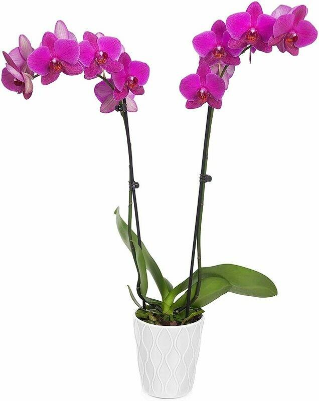 """Orchid Easy Care Live Plants, 5"""" Diameter, Purple"""