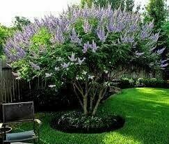 Bundle of 4 Texas Lilac Vitex Chaste Trees - LIVE LILAC BUSH PLANTS - Quart Containers - FIBROUS ROOT SYSTEM - Purple Blooms -