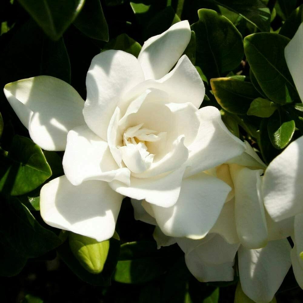 2 gal, White  Jubilation Gardenia Living Plant Collection SL-962