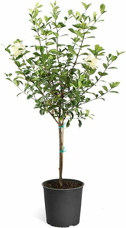 Double Blooming Gardenia Tree, 3-4 Feet - No Shipping to AZ