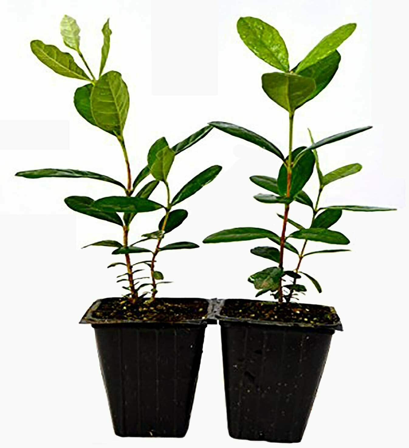 2 Pack Pineapple Guava Plant
