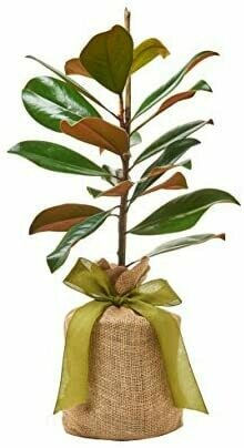 """Southern Magnolia Sympathy Gift Tree. Get Beautiful and Fragrant Flowers on Lush""""in Memory"""" Magnolia Tree Gift - Can Not Ship to California"""