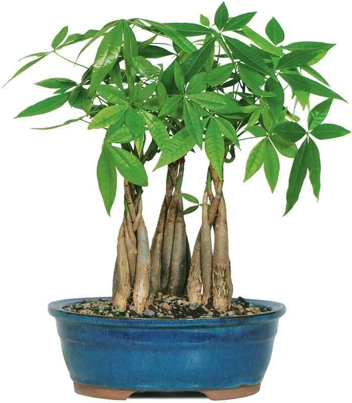"""Live Money Tree Grove Indoor Bonsai - 4 Years Old; 10"""" to 14"""" Tall with Decorative Container. Gift"""