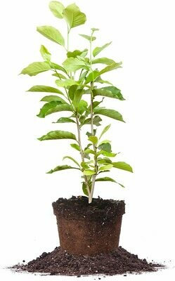 ANN Magnolia Tree - Size: 5 Gallon, Live Plant, Includes Special Blend Fertilizer & Planting Guide