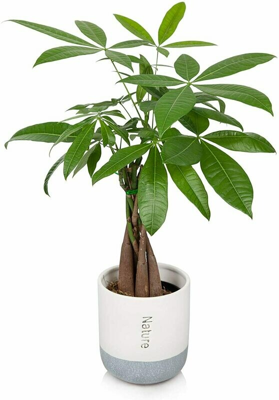 Money Tree, Nature Pot. PERFECT GIFT