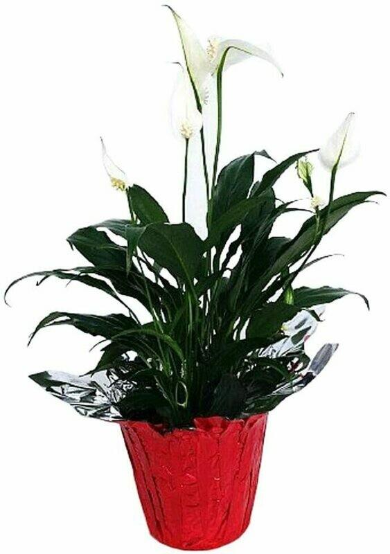 "Peace Lily Plant - Spathyphyllium - 4"" Pot/Decorative Pot Cover - PERFECT GIFT"
