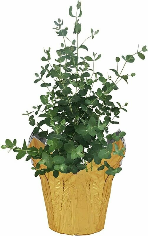 "Healthy Live Eucalyptus Deco Pot Cover, 6"" Size"