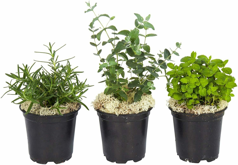 "Live Aromatic Combo Herb Assortment (Lemon Balm, Mint, Rosemary), 4"" Pot Size,"
