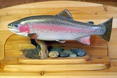 """27"""" Cutbow Trout"""