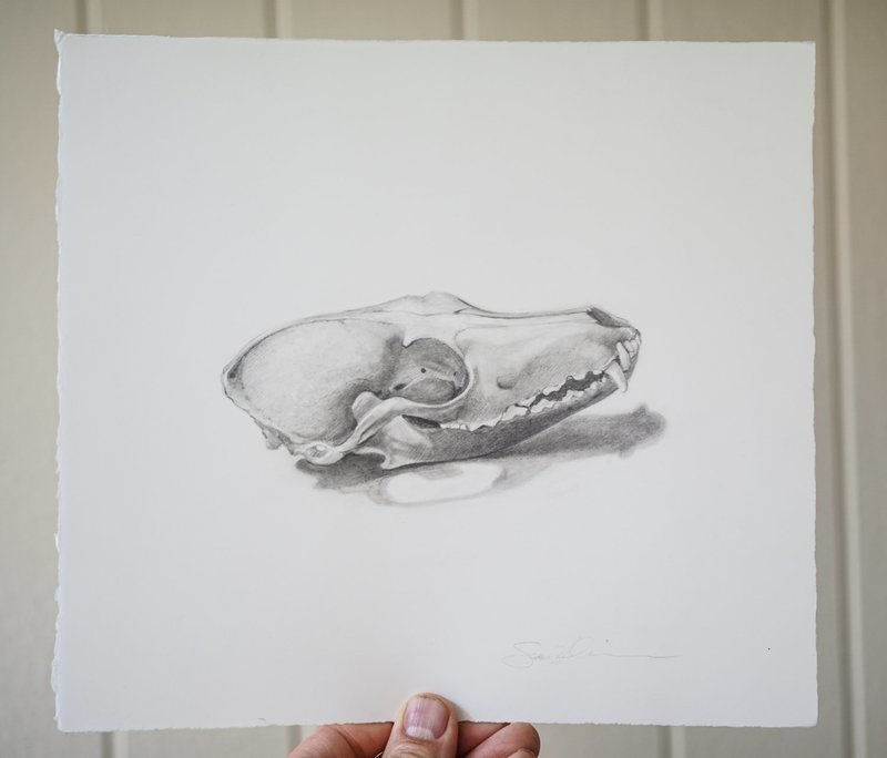 Fox Skull Study- Drawing