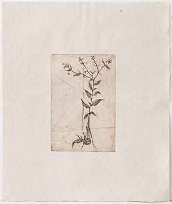 Mandragora - Lithograph