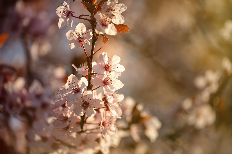 Kirschblüten - Leinwand