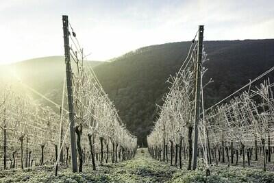 Eisiger Winter in den Weinbergen