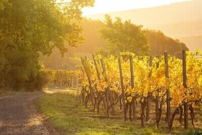 Goldener Herbst im Weinberg